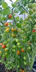 tomaatit 2